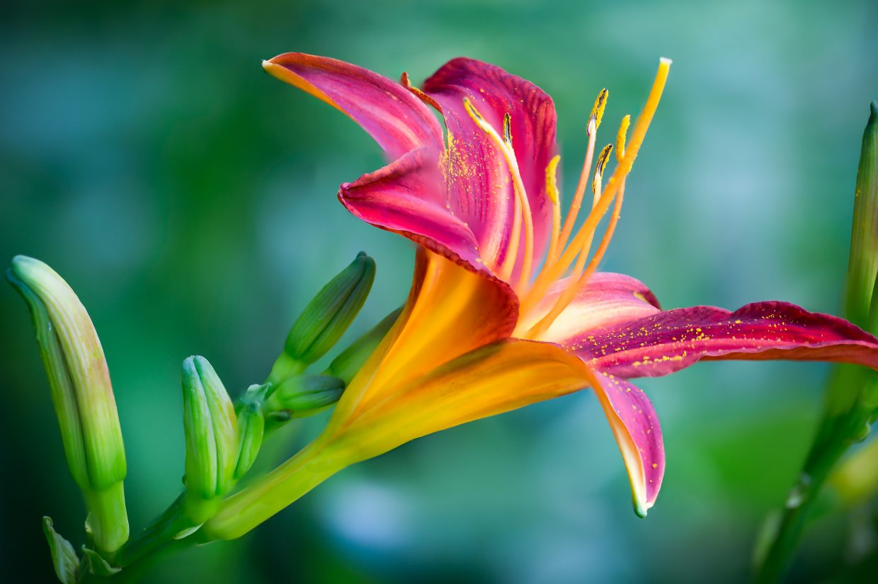 pink-and-yellow-lily-flower-in-closeup-photo-639086